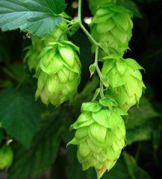 hops photo from freshops.com
