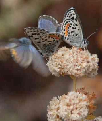 Butterfly Blue El Segundo-FWS