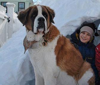Saint Bernard rescue group snowy