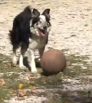 blind dog plays fetch