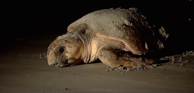 loggerhead-turtle-evening-beach-GeorgiaNRDvideo