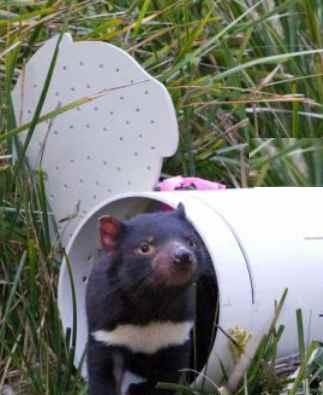Tasmanian Devil - ABC News video snippet