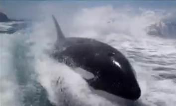 orca whale jumps boatside