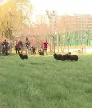 sheep grazing in Paris - AP video snapshot