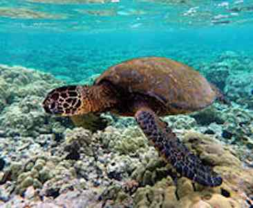 Green turtle in Kona reef - by Brocken Inaglory -CC