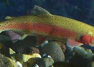 trout cutthroat Nevada FWS photo