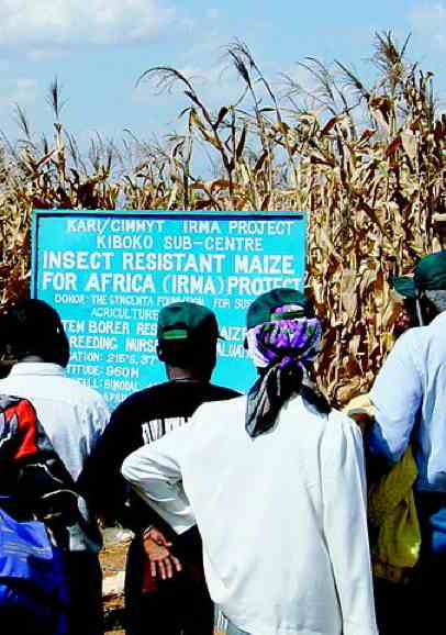 GMOs in African maize crop