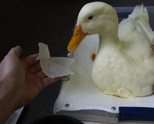 duck with foot prosthetic-Feathered Angel Sanctuary