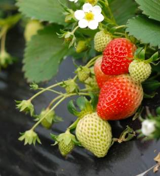 strawberries flowering-Iceman0-Morguefile