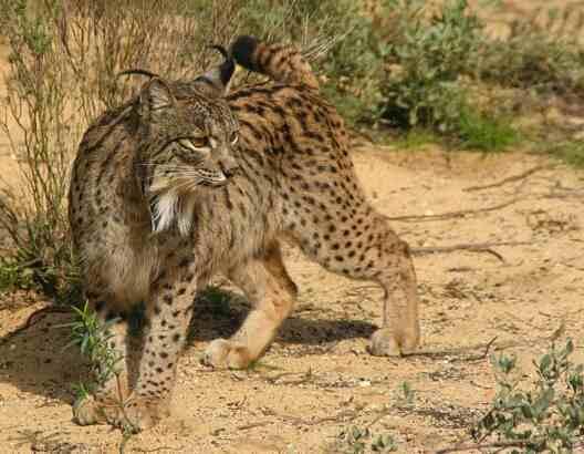 Iberian lynx by lynxexsitu.es - CC