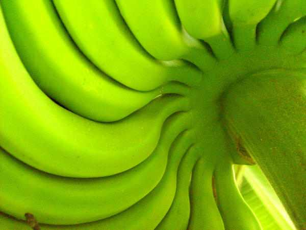 bananas on stalk mauren veras-Foter-CC
