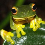 orange-eyed green tree frog-by Rainforest Harley-Foter-CC