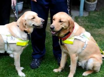 guide dogs fall in love- Staffordshire Sentinel Video clilp