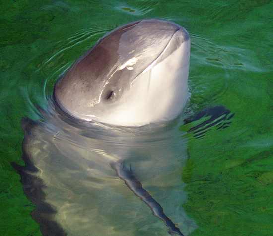 harbor porpoise-CC-AVampireTear