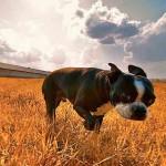 terrier Boston sunlit in field-Jrtippins-CC-Foter