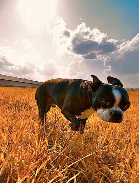 terrier Boston sunlit in field-Jrtippins-CC-Foter
