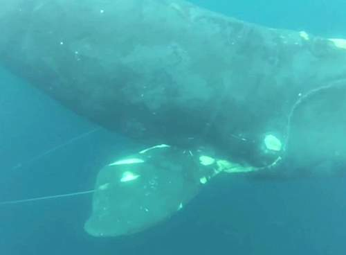 whale entangled-Northern Right-fishermanVid