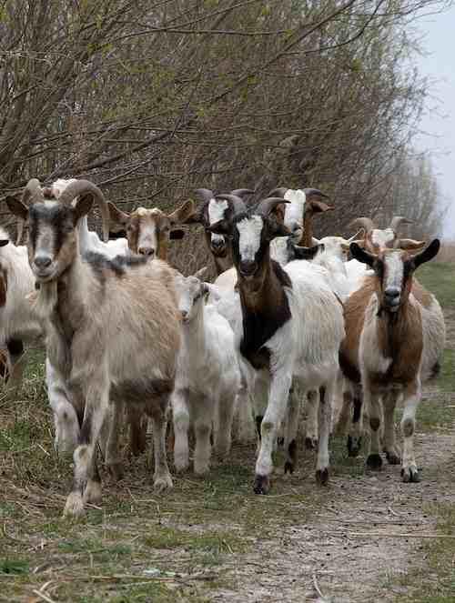goat herd-thomas lieser-Flickr-CC