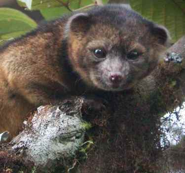 olinguito-Mark Gurney