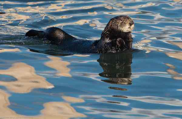 sea otter reflections - Photo by Mike Baird