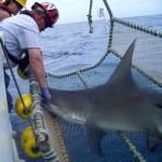 shark in net researchers NOAA