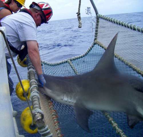 shark in net researchers NOAA