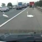 swans on highway-newsvid