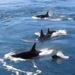 Orca whales in Canada - YouTube