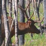 elk in Yellowstone