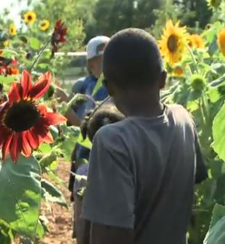 Farming in urban lots sunflowers