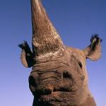 Rhino-Martin Harvey-WWF-use-only