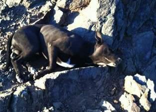 injured pitbull arizona