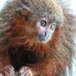 purring Caqueta titi monkey -WWF-Javier Garcia