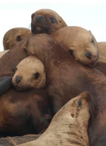 sea lions eastern Steller-AlaskaDeptFishGame-JamieKing