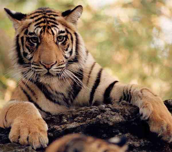 Tiger WWF photo