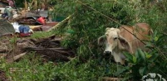 cow in poverty Philippines-HumanSocietyIntl