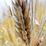 wheat kernal-Flickr-W9NED-CC
