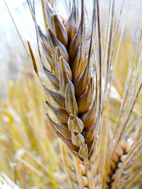 wheat kernal-Flickr-W9NED-CC