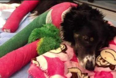 dog with broken legs-KGO