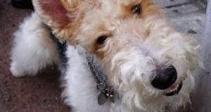 terrier wire fox-AARPblog