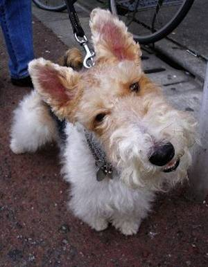 terrier wire fox-AARPblog