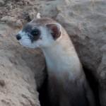 black-footed ferret in burrow-usfws