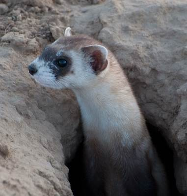 black-footed ferret in burrow-usfws