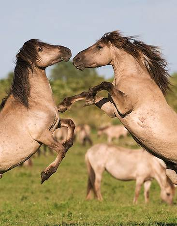 horses by Mark Hamblin/rewildingeurope.com