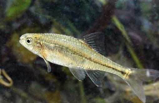 minnow by Oregon Fish and Wildlife Service