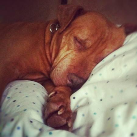 pitbull-sleeping-family-photoCraigslist