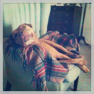 pitbull sleeping-CraigsList