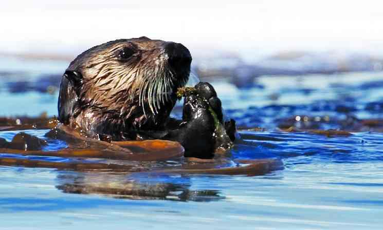 sea otter FWS