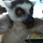 Lemur-Snaps-a-Selfie-cropped-ZSL-London-Zoo