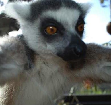 Lemur-Snaps-a-Selfie-cropped-ZSL-London-Zoo